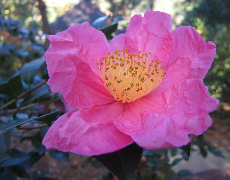 11032006 Camellia Sasanqua 'Moon Festival' (I think)