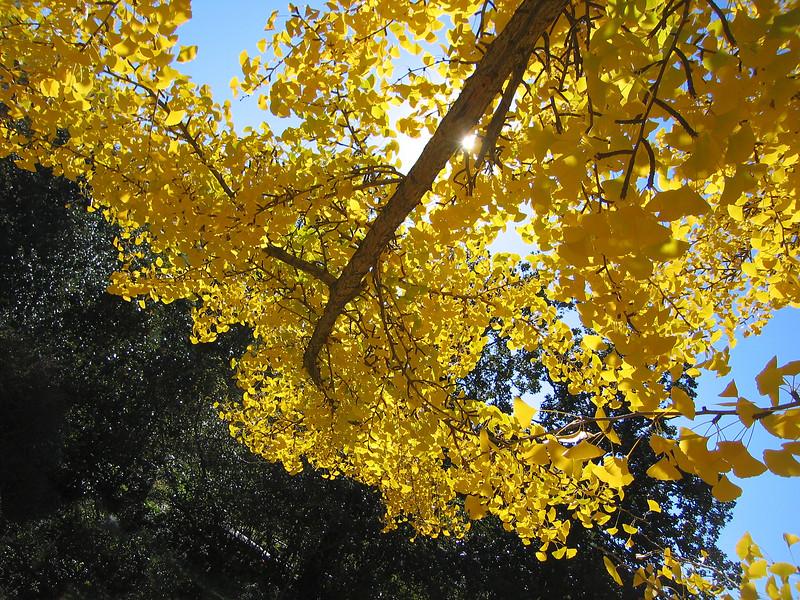 11032006 Ginkgo Biloba branch draped in yellow leaves
