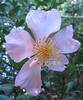 11032006 Camellia Sasanqua, unknown variety