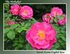 00aFavorite 05252003 'The Herbalist' David Austin rose [gradient border, text]