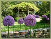 04272003 Allium with gazebo in bg (wisteria all done blooming) [border, drop shadow]