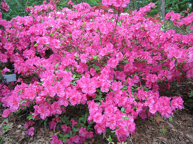 04212006 Vibrant azalea bush