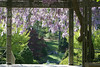 04172008 Wisteria shortly past peak bloom