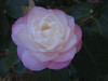 11032006 Light pink-white camellia bloom
