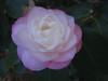11032006 Light pink-white camellia bloom