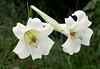 08152008 Formosan Lily