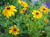 06292003 Bed of Black-eyed Susans (Gloriosa Daisy 'Indian Summer' Rudbeckia hirta)