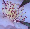 00aFavorite 11032006 Camellia Sasanqua 2 [close crop, colored edges]