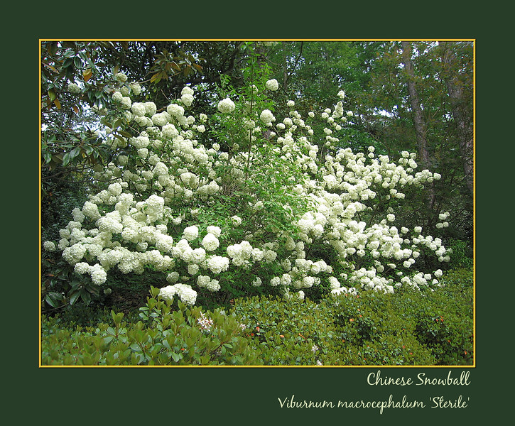 04212006 Chinese Snowball (Viburnum macrocephalum 'sterile') [borders, text]