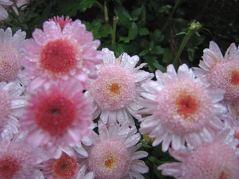 10222006 Little pink flowers after rain