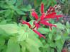 11032006 Pineapple Sage (Salvia elegans 'Golden Delicious'), mint family, garden origin