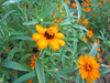 08022006 Bed of orange flowers cl