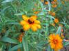 08022006 Bed of orange flowers cl