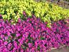05302005 Purple and yellow mass planting