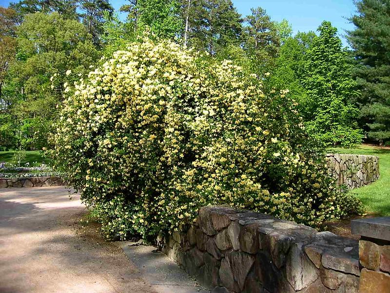 04202003 Lady Banks Rose in full bloom, Duke Gardens 2