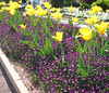 04182004 Yellow tulips and purple pansies