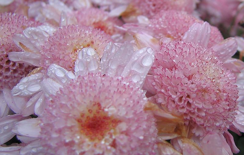 00aFavorite 10222006 Little pink flowers after rain cl