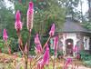 00aFavorite 10222006 Violet-purple flowers in fg, building in bg