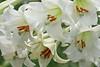 08152008 Formosan Lily mass