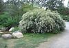 04212006 Water-side bush full of white flowers