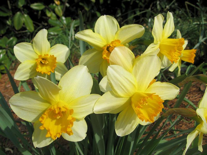 03222007 Daffodils