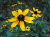 09172006 Orange Coneflower (Rudbeckia fulgida)