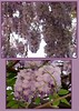 00aFavorite 04202003 Wisteria cl [2 shots with borders]