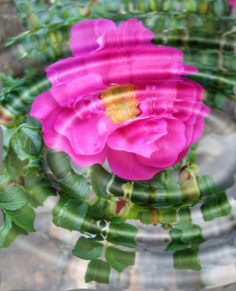 04132006 Rugosa rose 2 [Redfield water ripples 0]