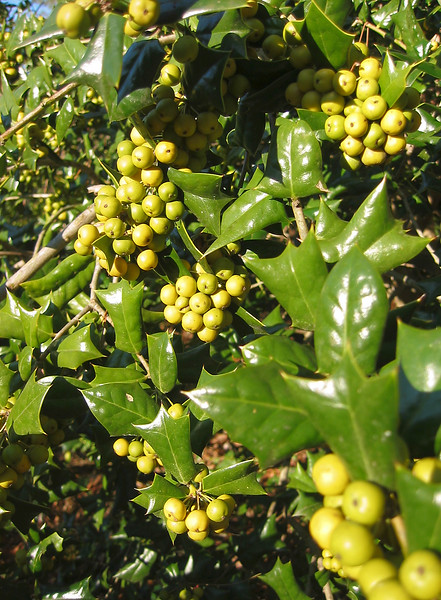 12292003 Yellow berries on a holly bush