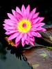 00aFavorite 08152008 Deep pink Tropical Water Lily (Nymphaeaceae)