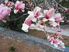 03042006 Saucer magnolia blooms