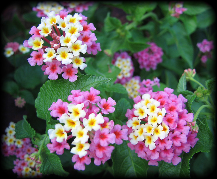 08022006 Small pink and white flowers cl [borderfade4]