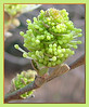 03292006 Beautiful compound green buds opening [close crop, borders]