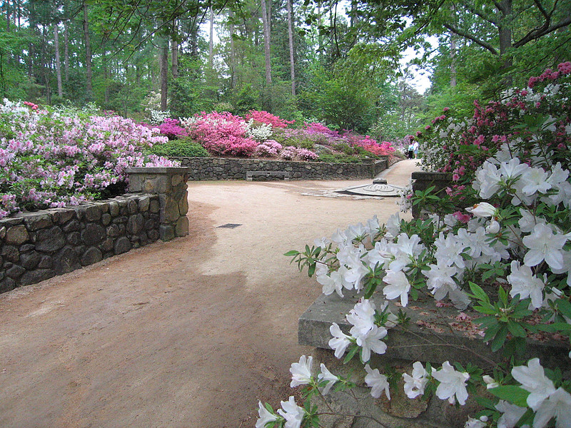 04212006 Pathway loaded with blooming azaleas