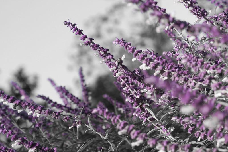 09302007 Tops of purple salvia (I think)