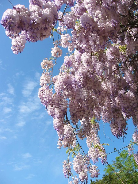 04202003 Wisteria - looking up at with sky in bg