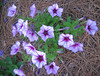 06292003 Petunias (Petunia 'Madness' series I think)