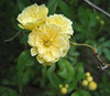 00aFavorite 03292006 'Lady Banks' Rose blossoms cl