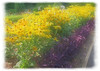 08022006 Bed of Black-eyed Susans edged with purple plants [soft focus, edgefade10 frame]