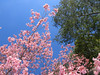 03022008 Crabapple (I think) blossoms