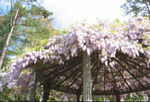 04202003 Wisteria in full bloom, Easter 2003