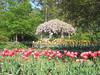 00aFavorite 04132006 Tulips in fg, Wisteria on pergola in full bloom in bg