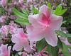 00aFavorite 04212006 'George L Taber' azalea blooms