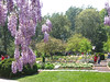 04182004 Looking from pergola through wisteria in full bloom