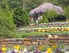 00aFavorite 04182004 Terraces looking up at wisteria in full bloom on pergola