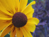 00aFavorite 08022006 A yellow flower cl 2 [tiled]