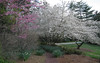03292006 Redbud and white flowering trees (cherries maybe)