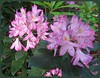 05252003 Maxicat rhododendron [feathered]