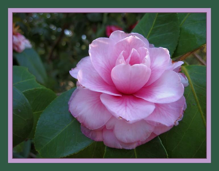 00aFavorite 04012003 Camellia in Duke Gardens [borders]
