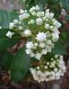 04212006 Mountain laurel (Kalmia latifolia 'Pristine', Ericaceae (heath) family, garden origin)